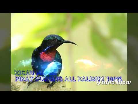Suara Pikat Burung Kalibiri 100% dapat