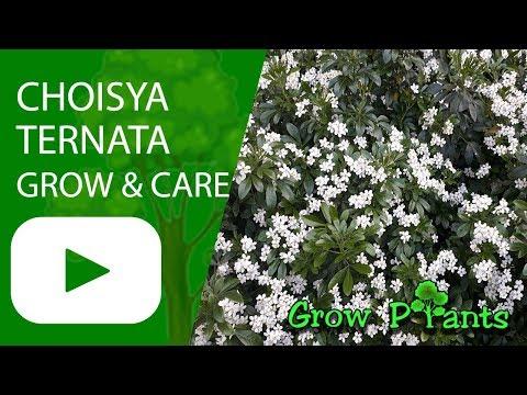 Choisya ternata - grow & care