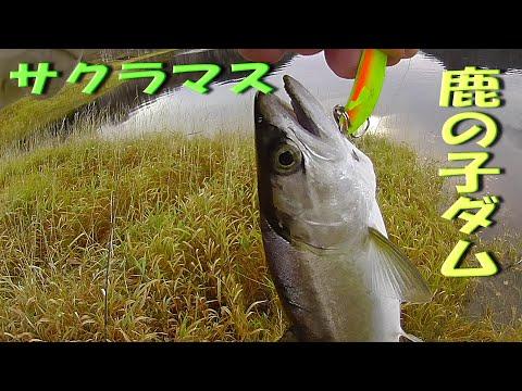 第1話 北海道「 鹿の子ダム」のルアーフィッシング 湖で二桁の釣果!!(対象魚:サクラマス・ニジマス・アメマス)