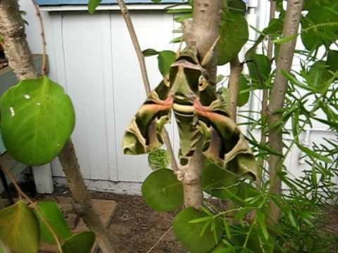 Oleander Hawk-Moth - Kekaha, Kauai, Hawaii
