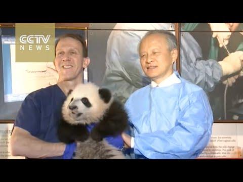 Chinese ambassador visits giant panda cub in Washington D.C