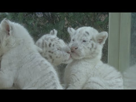 Rare Snow Tiger Quintuplets Debut in East China Wildlife Reserve