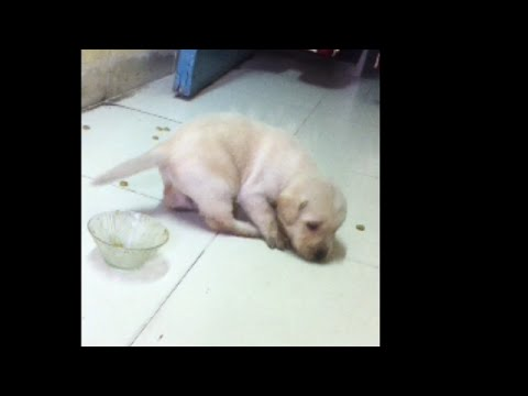Adorable casper feeding | super cooper sunday | Labrador puppy