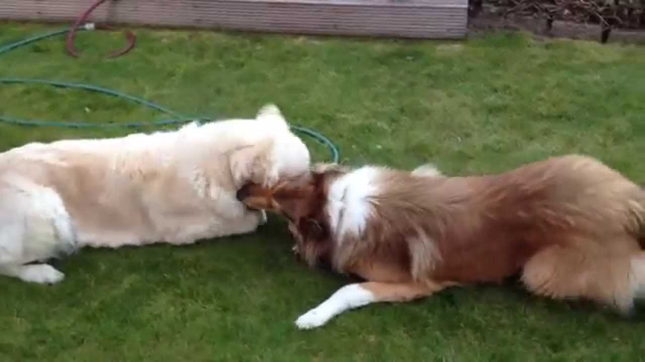 golden retreiver and rough collie cuddling best friends youtube