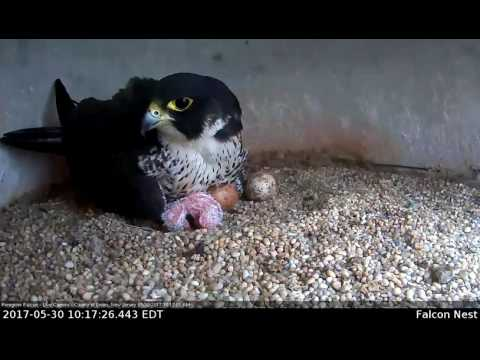 Peregrine Falcon-Union County Courthouse-1st Hatch!
