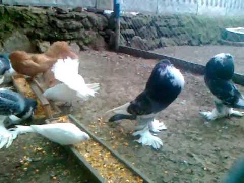 Голуби якубіни ціна фото фото 164-226