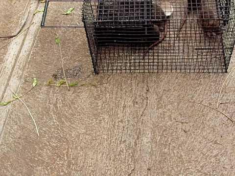 Jaula para atrapar ratas youtube - Trampas para cazar ratas ...