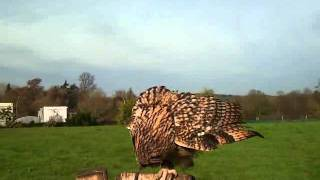Charlie the Indian Eagle Owl