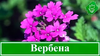 Цветок вербена – выращивание из семян, уход и посадка вербены