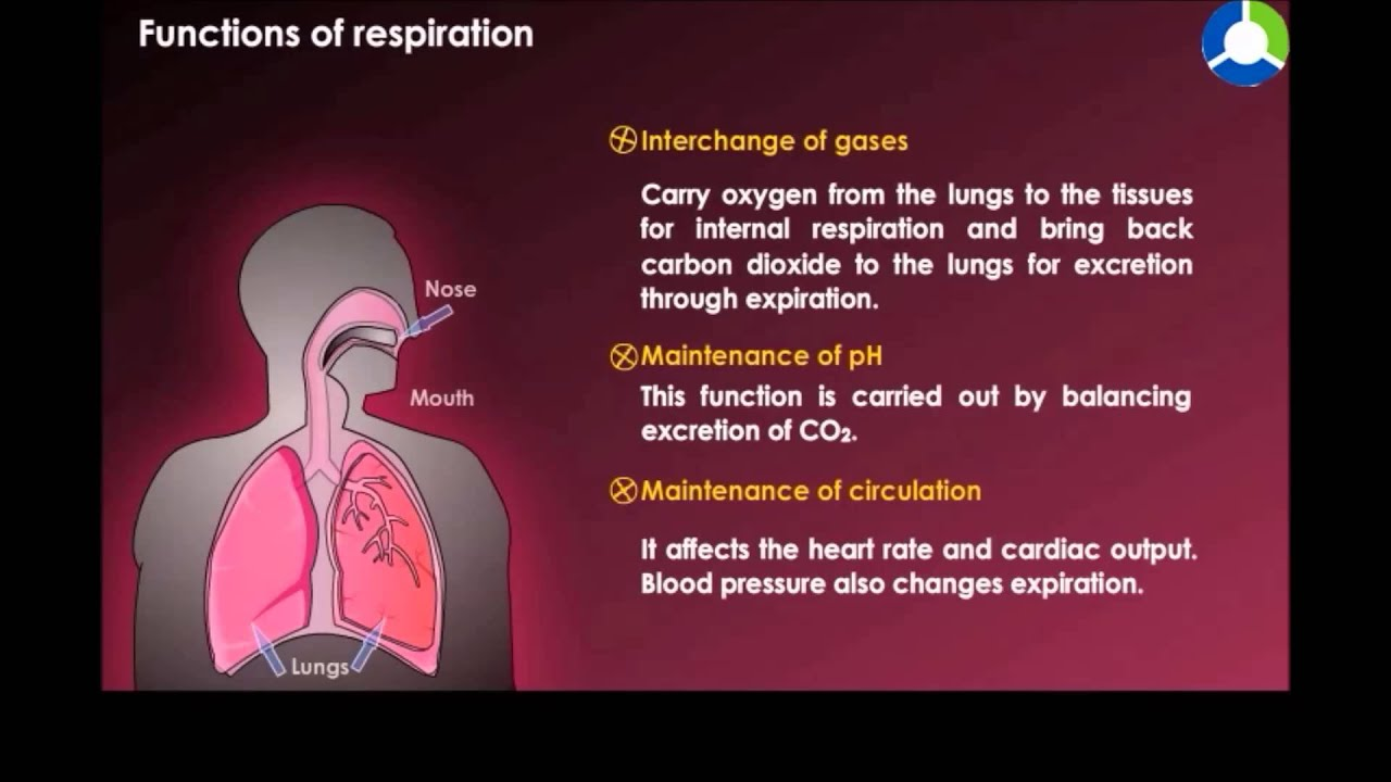Functions Of Respiration Youtube