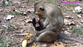 New mom monkey kissing lovely baby / Monkey walking on three legs