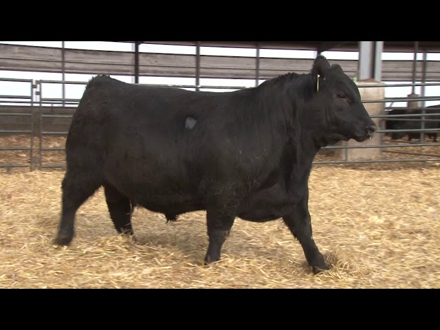Schiefelbein Angus Farms Lot 3