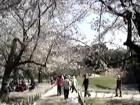 後樂園的櫻花雨