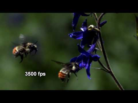 Demonstration of fps on insect wing observation