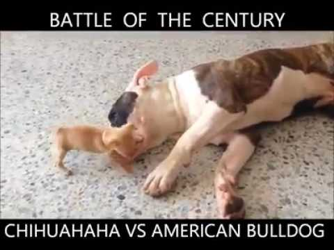 Pets Playhouse Kennel, Mumbai chiwawa vs American bulldog