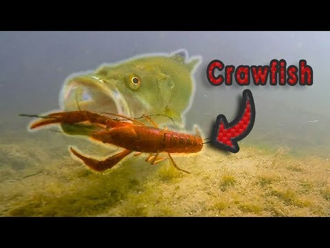 HOW Does A Bass Eat A Crawfish?? | Live Crawfish GoPro Footage (Vol. 2)