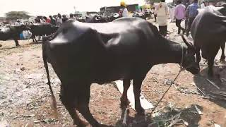 म्हैशीचा बाजार सांगोला | रविवार २०१८ | Live in Sangola | buffalo market SanGola