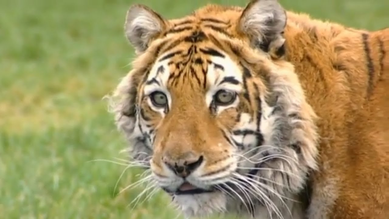 Animal Park - Tiger Operations & Bongos | Safari Park Documentary | Natural History Channel