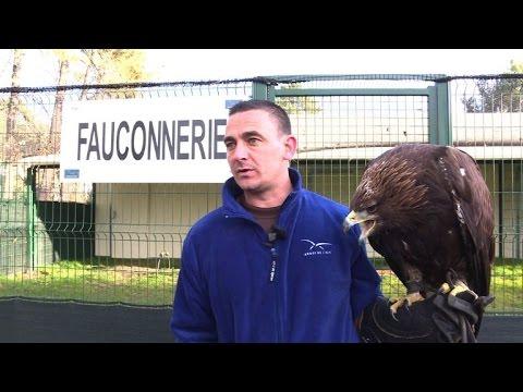 Adler hohlen Drohnen vom Himmel