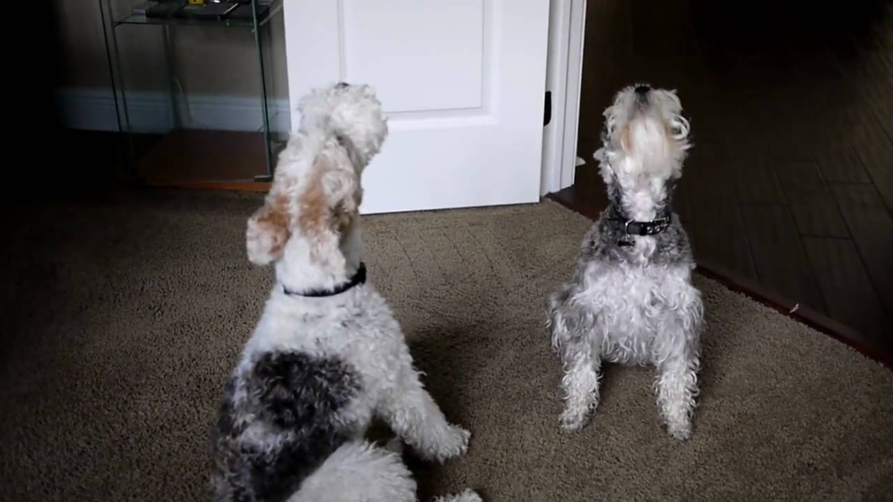 Basil and Ashton sing happy birthday - Singing wire fox terrier and schnauzer - YouTube