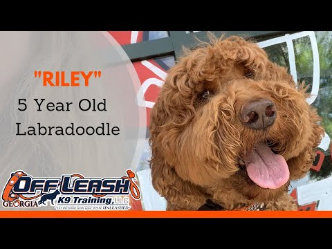 Riley   5 Year Old Labradoodle   Any Breed, Any Age   Off Leash Obedience   OffLeashGeorgia.com