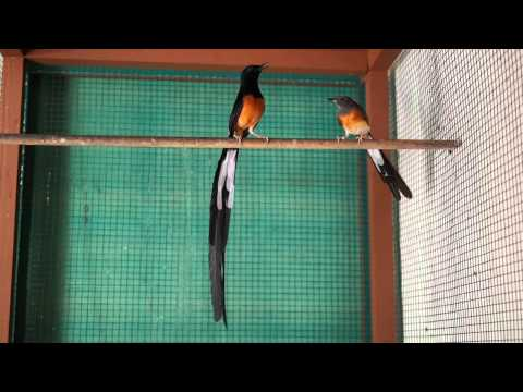 Courtship song of white-rumped shama