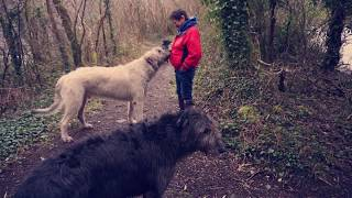 A walk with an Irish Wolfhound