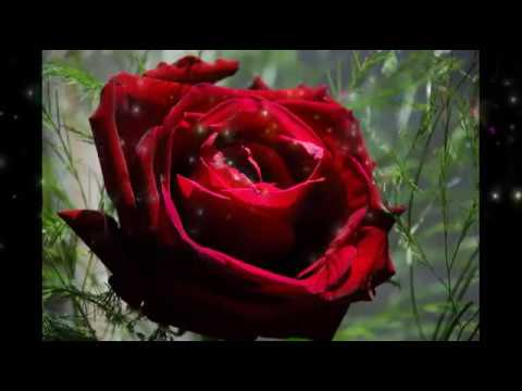 1 Lovely Good Morning Red Rose Wallpaper Pic Image Photowhatsaap