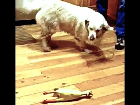 Golden Retriever confused by squeaky toy