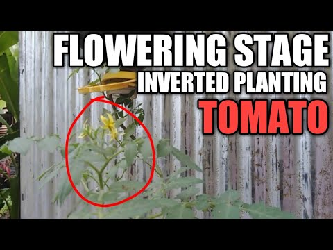 UPSIDE DOWN TOMATO PLANTER USING PLASTIC CONTAINER. How To Grow / Plant Inverted Tomato (Eng.)