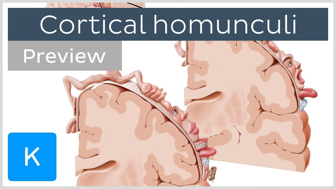 Motor And Sensory Cortical Homunculus Preview Human Neuroanatomy