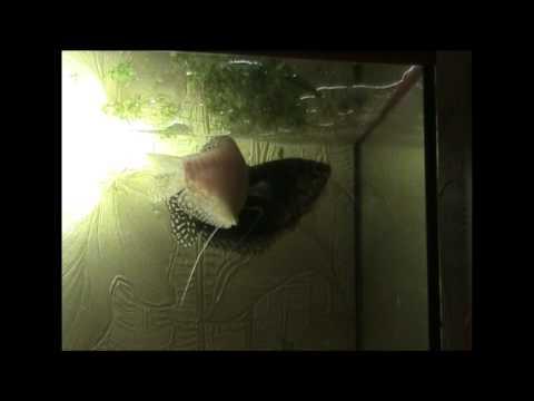 Рыбки Гурами  Размножение рыбок Гурами