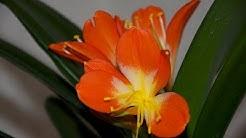 Die Klivie (Clivia miniata) - Kultur, Pflege, Vermehrung und Überwintern - Amaryllisgewächse #13
