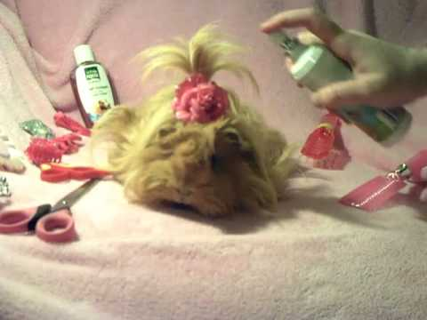 How To Groom A Long Haired Guinea Pig Youtube