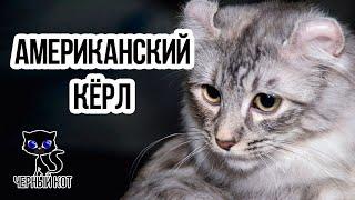 Американские кёрлы / Интересные факты о кошках