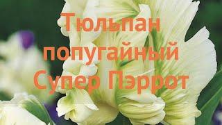Тюльпан обыкновенный Супер Пэррот (tyulpan) ???? обзор: как сажать, луковицы тюльпаны Супер Пэррот