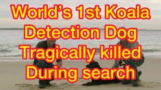 Oscar Tragically Killed While Saving A Koala