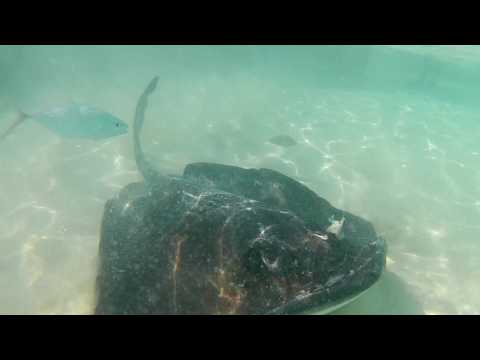 Stingray feeding, Ship channel cay, Exumas