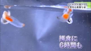 クリオネ20120509ネットワークニュース845(2分37秒)