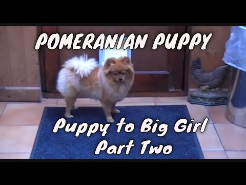 how to train pomeranian dog
