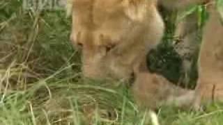 Lions vs buffalo  - BBC wildlife