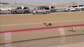 سباق السلوقي الختامي  ذكور  2612019