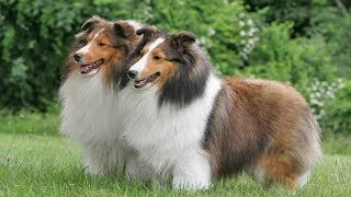 Порода собак Шелти - Характеристика
