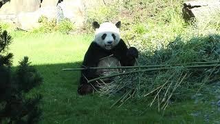 Panda Jiao Qing I