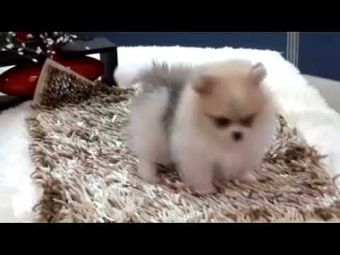 party pomeranian puppies for sale teacup puppy for sale party color teacup pomeranian sandy 4225