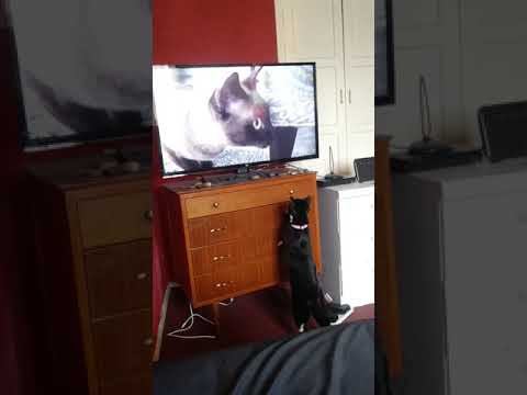 Bluebell Watching Cute Burmese Cat