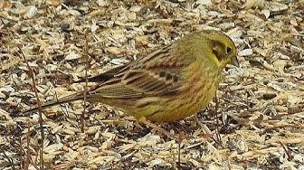 Lintuja pellolla ja lintulaudalla