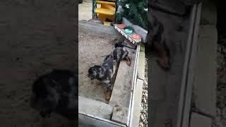 Щенки босерона (французская гладкошёрстная овчарка) - 4
