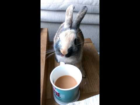 Rabbit drinking tea