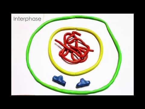 การแบ่งเซลล์แบบไมโตซิส (mitosis)